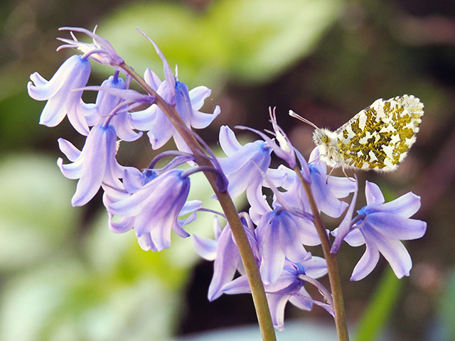 A butterfly on bluebells.