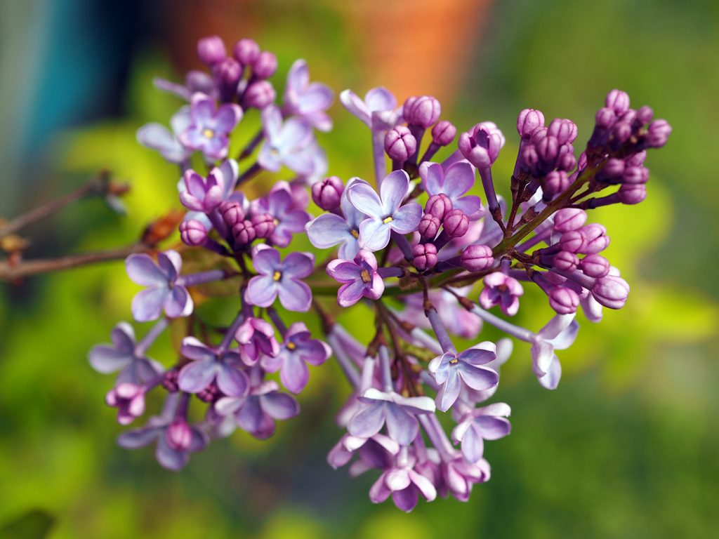 Lilac in the garden.