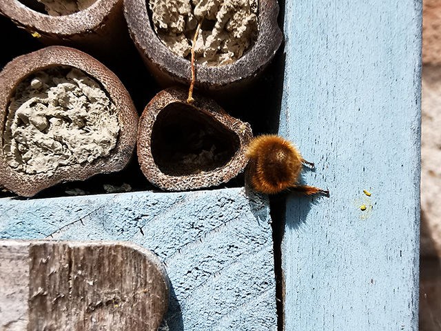 A bee stuck in the bug hotel.