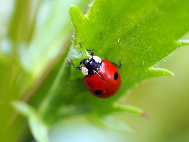 2-Spot Ladybird.