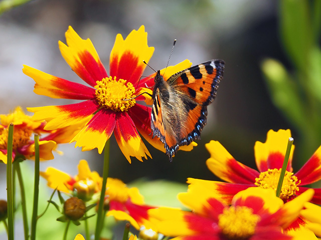 Butterfly on Coreopsis UpTick Gold Bronze.