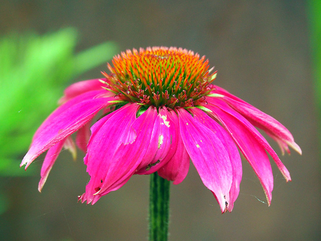 Echinacea 'Delicious Candy'