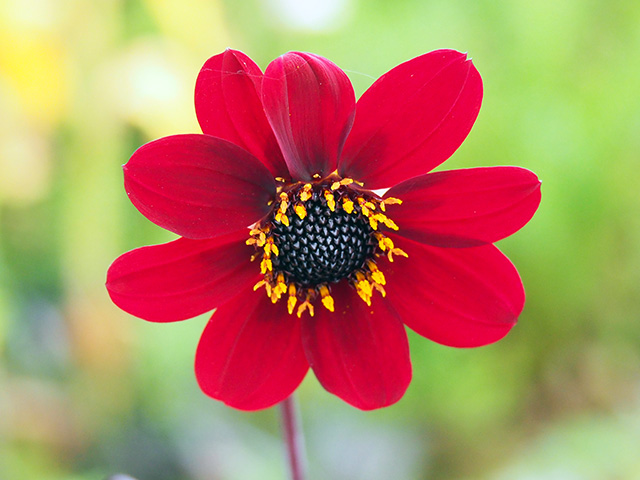'Bishop of Llandaff' Dahlia.