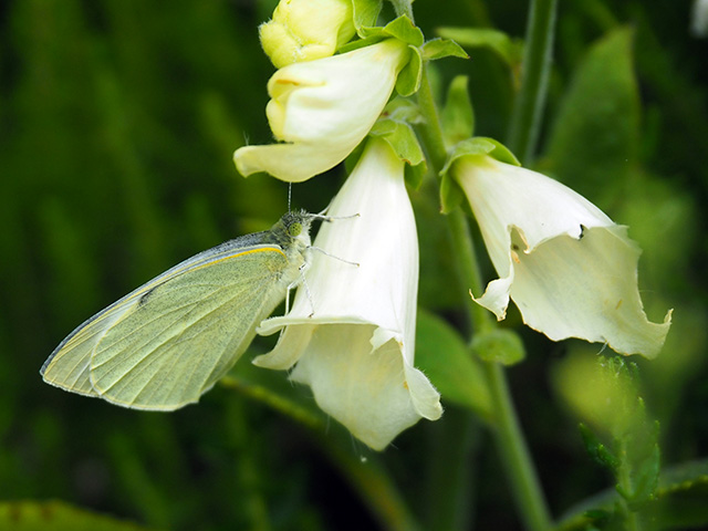 A butterfly on white Foxglove.