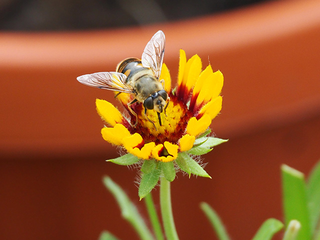 Bee on Gaillardia Arista.