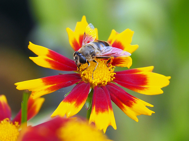 Bee on Coreopsis UpTick Gold Bronze.