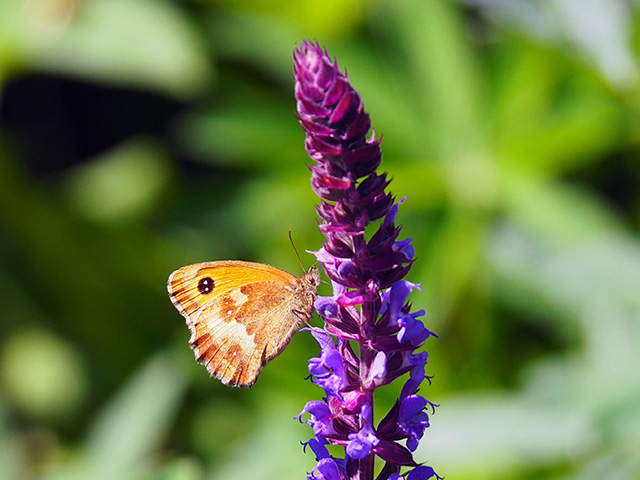 Butterfly on Salvia.