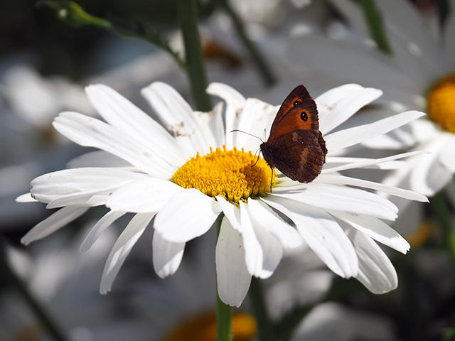 A butterfly on a Daisy.