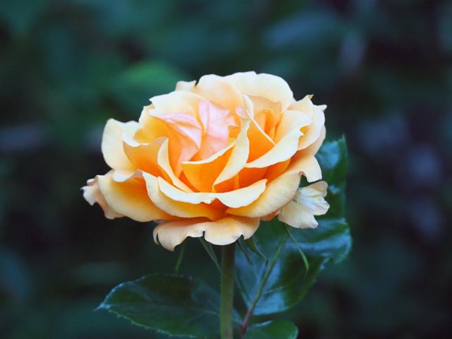 A beautiful rose.