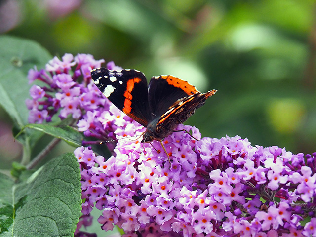 Another butterfly on Buddleia..