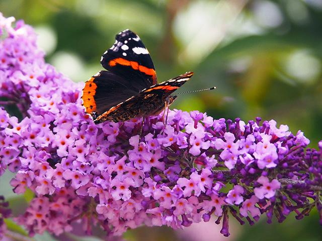 A butterfly on Buddleia.