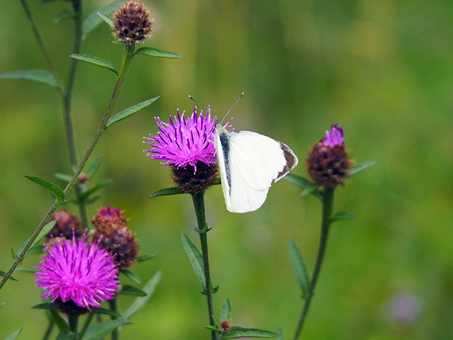 A butterfly on Knapweed.