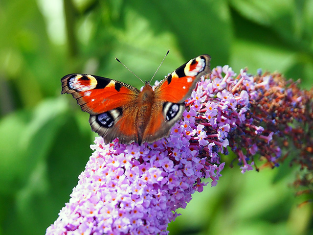 A butterfly on buddleia.