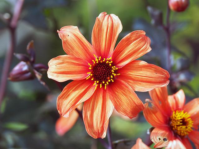 A dahlia in the garden.