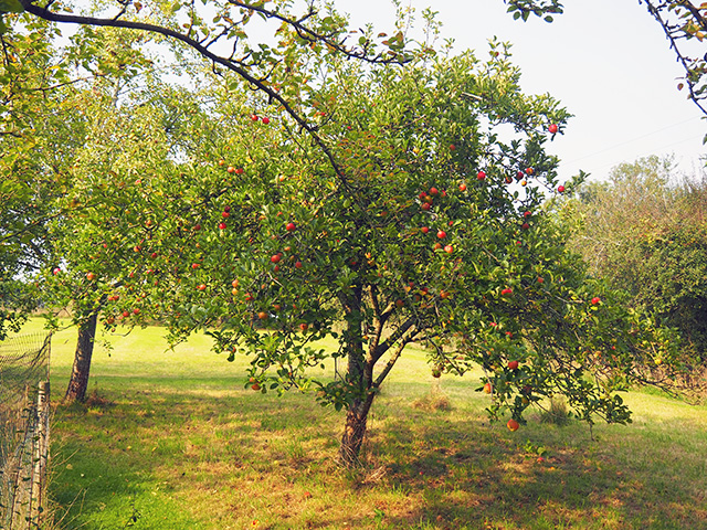 An apple tree in the orchard.