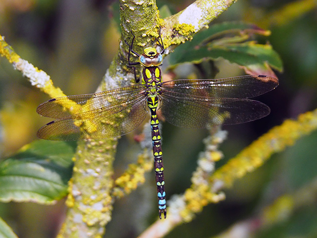 A Southern Hawker dragonfly.