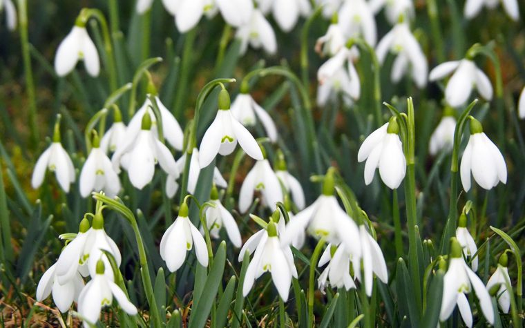 Snowdrops at the Village Church