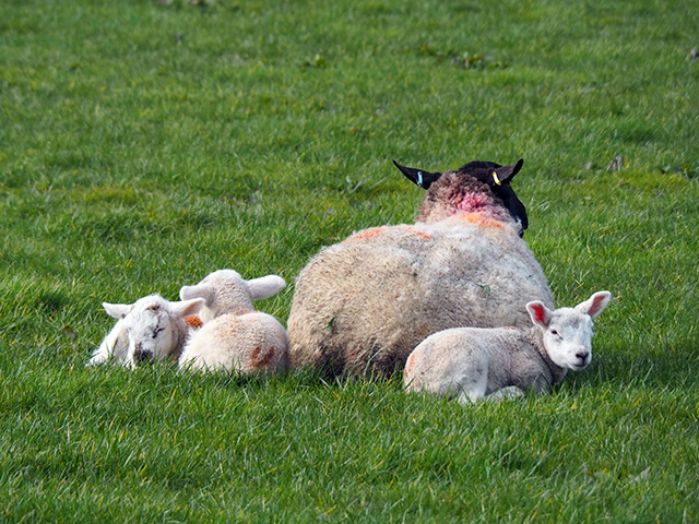 Lambs huddled up to their mother.