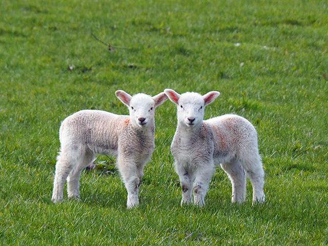 Two lambs posing.
