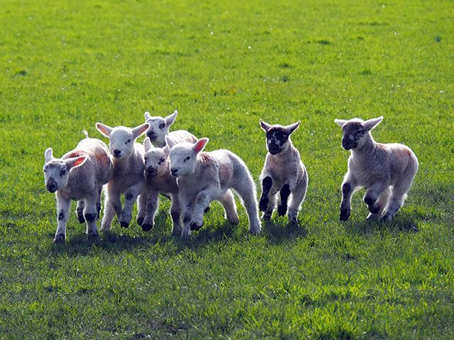 Lambs running.