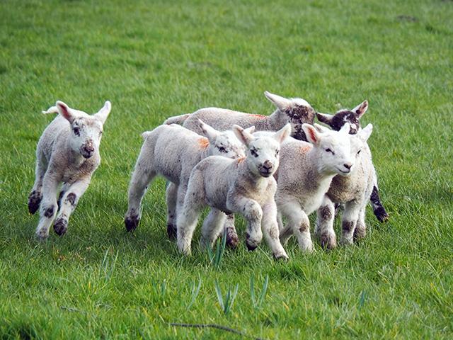Lambs playing.