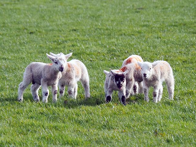 Lambs getting ready to run.