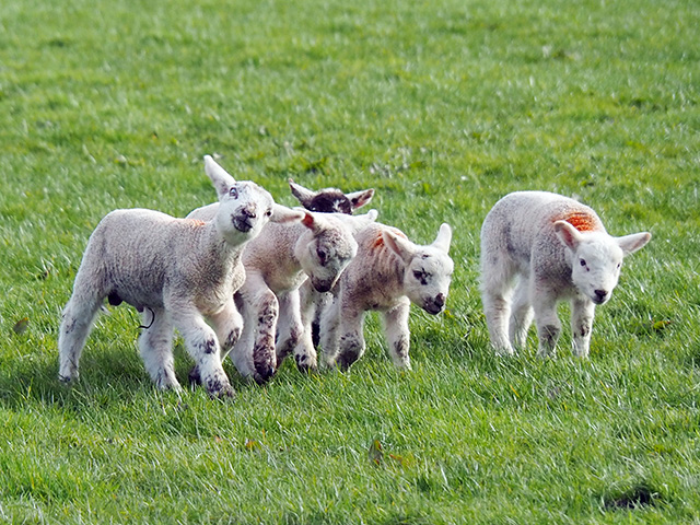 Lambs having fun.