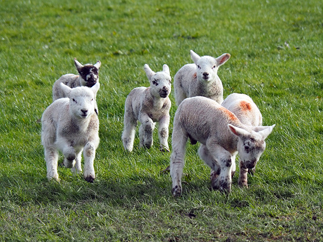 Lambs racing.