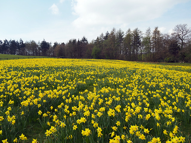 170,000 daffodils.
