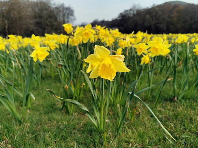 A daffodil close-up.