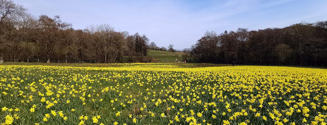 The Gatten Valley Daffodil Field
