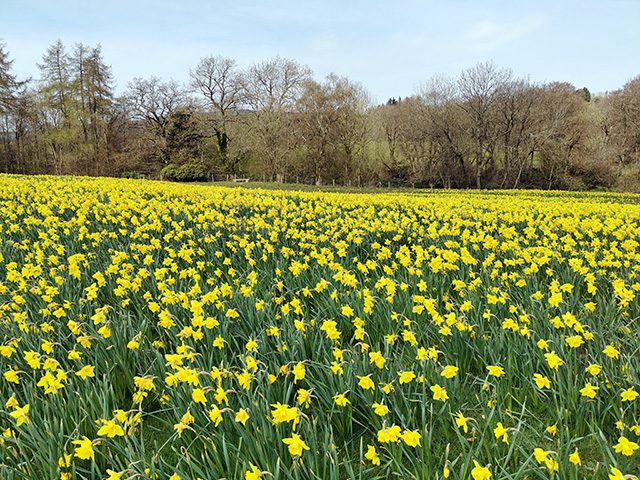 A field full of daffodils in Shropshire.