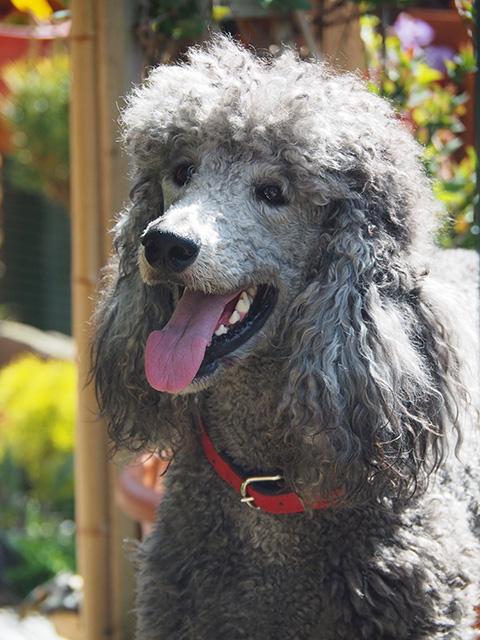 A grey poodle.