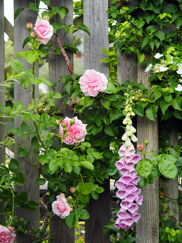 Roses and Foxglove against a garden fence.