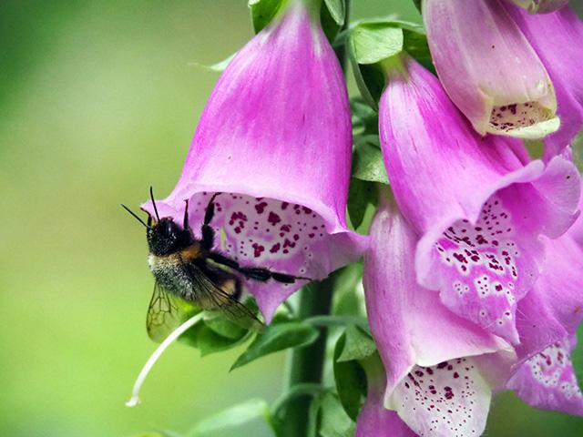 Bee on Foxglove.