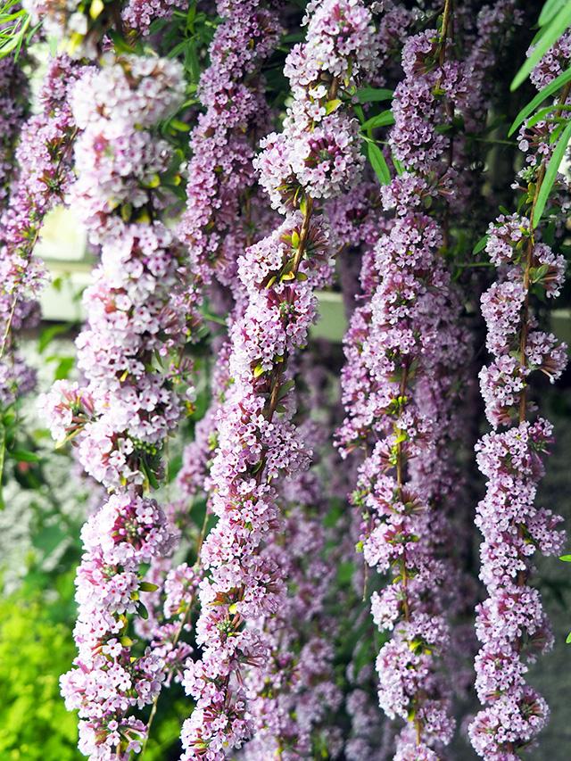 Buddleia alternifolia.