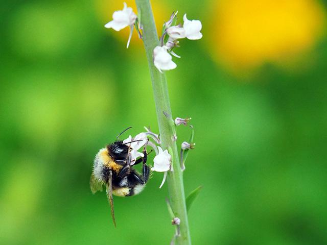 A bee on Salvia.