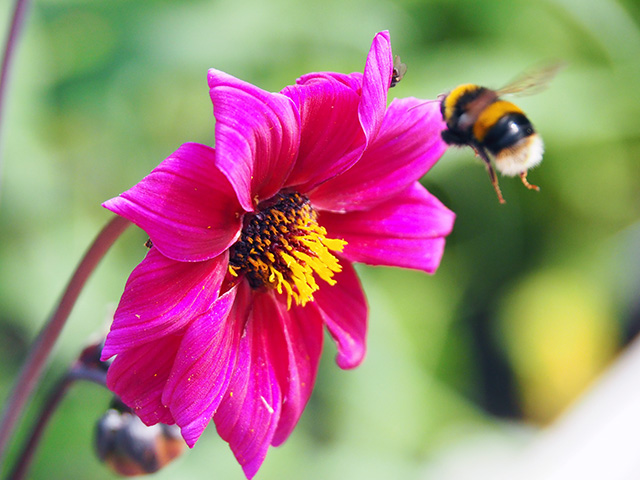 Bee hovering by pink dahlia.