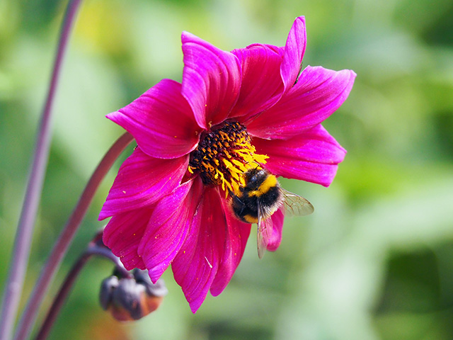 Bee on pink dahlia.