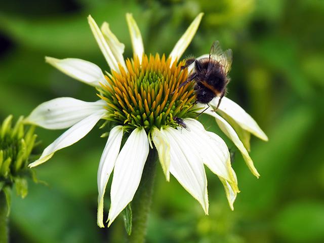 Bee on white Echinacea.