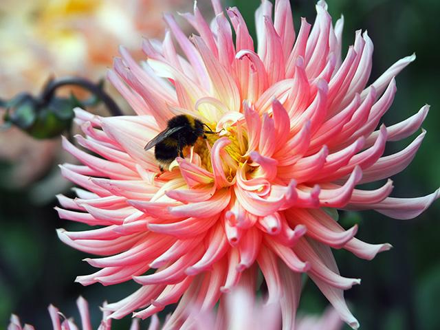 Bee on a dahlia.
