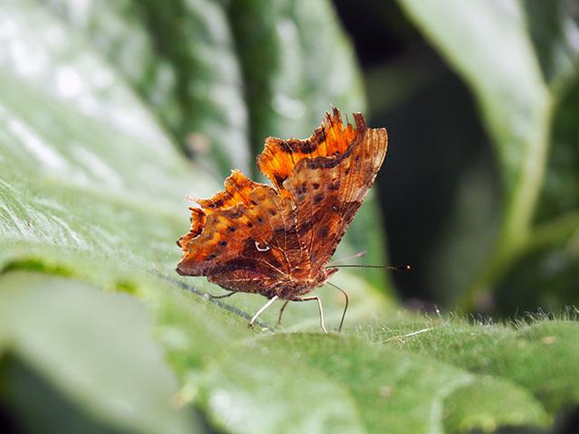 Butterfly on pumpkin leaf.
