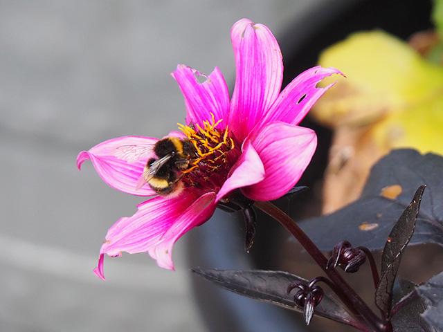 Bee on a tatty dahlia.