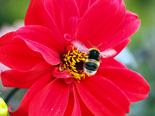 Bee hovering.