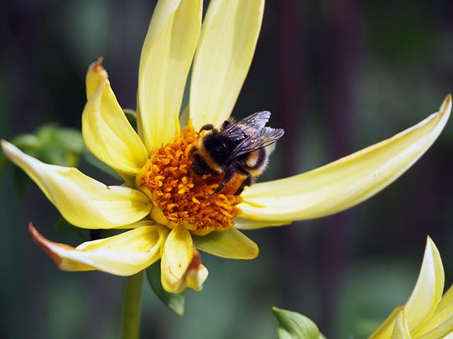 Bee on a yellow dahlia.