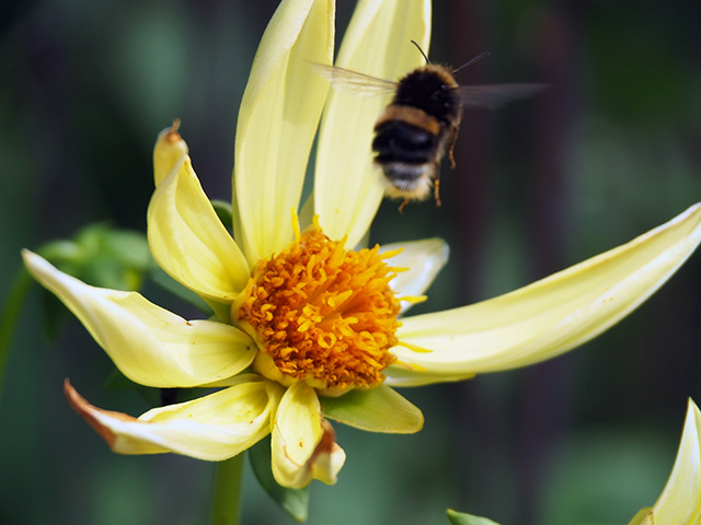 Bee hovering by a yellow dahlia.