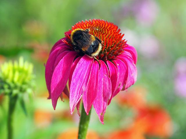 Bee on pink Echinacea.