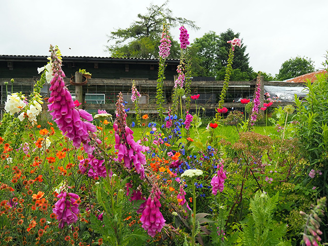Wild flowers at Welsh Lavender.