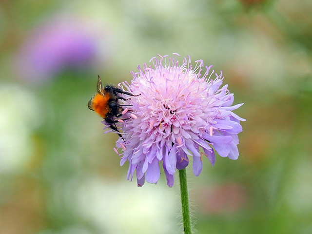 A bee on a wild flower.
