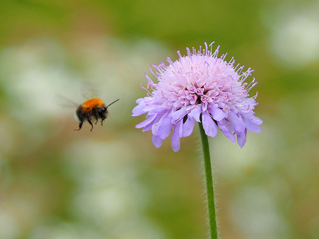 A bee flying to a wild flower.